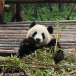 Panda Breeding & Research Center, China