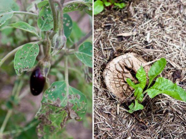 Eggplantmushroom