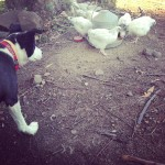 Farm Life: Chicken Integration