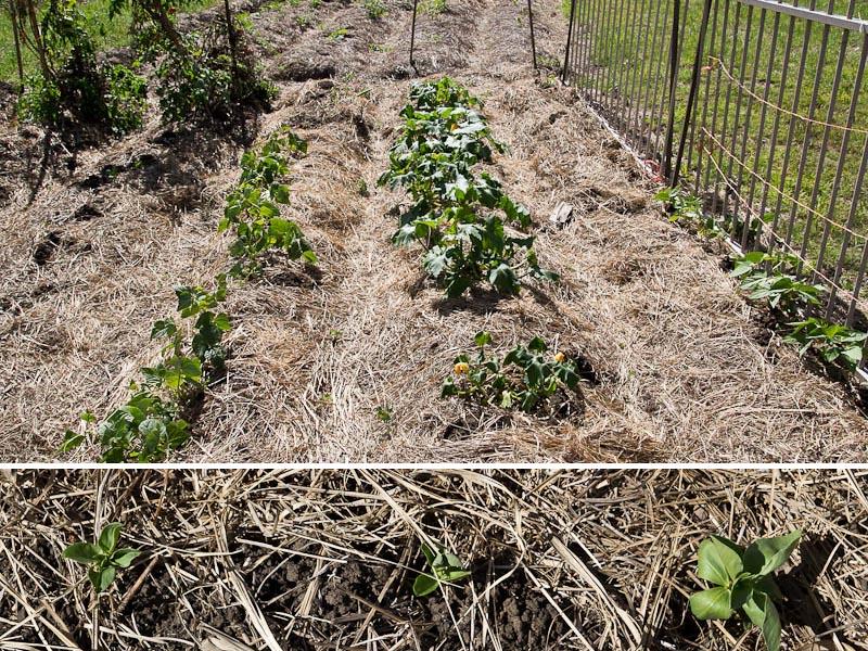 GSC.zucchinibeans