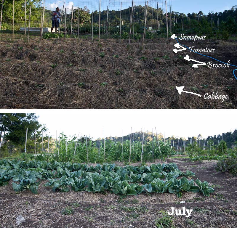 GSCjuly.brassicas