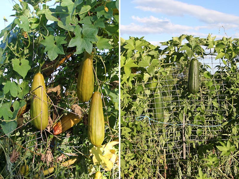 GROW YOUR OWN LUFFA'S