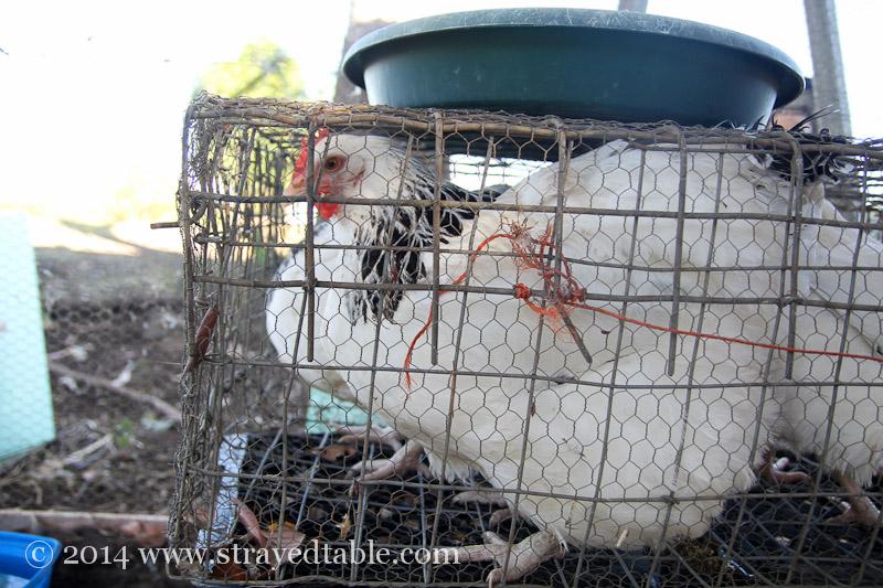 Un-Clucking Chickens