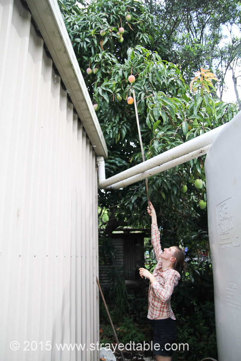 Poor Man's Mango Picker