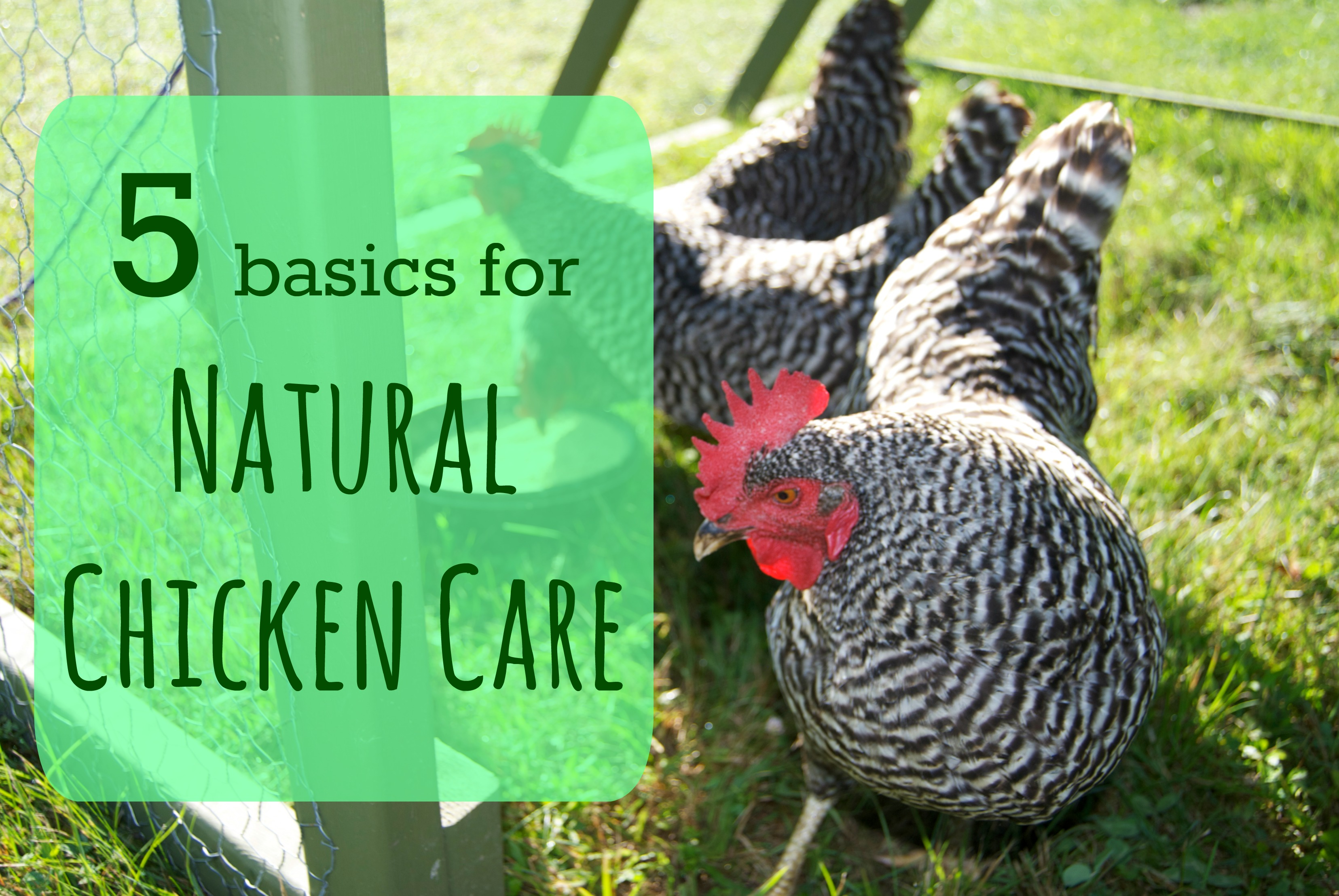 5 Basics for natural chicken care