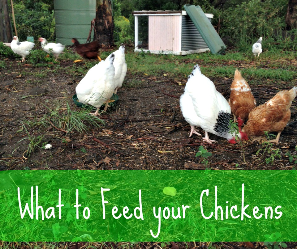 What to feed your Chickens